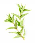 Stinging nettle (Urtica dioica) — Stock Photo