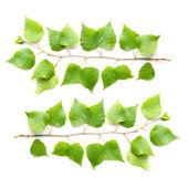 The Silver Birch ( Betula pendula ) — Stock Photo
