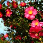 Camellia japonica — Stock Photo #62821857