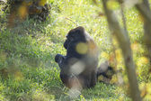 A gorilla and baby — Stock Photo