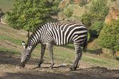 A zebra stands alone in a field — Fotografia Stock