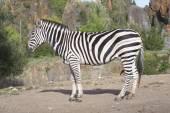 A zebra stands alone in a field — Photo