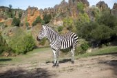 A zebra stands alone in a field — Stock Photo