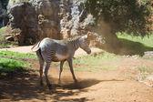 Zebra in dusty ground — Stock Photo