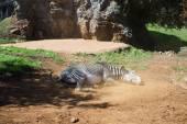 Zebra rolling in dusty ground — Stock Photo
