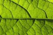 Pattern of green growing leaf surface - Stock Image — Stock Photo