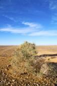 Bush in the  desert oasi morocco  — Stock Photo