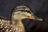 A duck in the black — Stock Photo