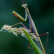 Look in the eyes of a mantis — Stock Photo #74880883