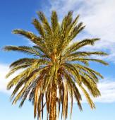 Palm in the  desert oasi morocco sahara africa dune — Stock Photo
