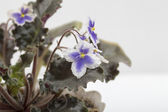 Violets on the white background — Stock Photo