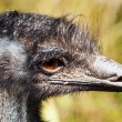 A closeup of the head of an emu — Stock Photo #52552643