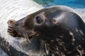 Seal (Pinniped) — Stock Photo