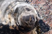 Seal (Pinnipeds, often generalized as seals) — Stock Photo