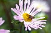 Flower and honeybee — Stock Photo