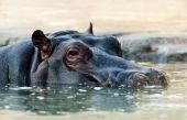 The hippopotamus (Hippopotamus amphibius), or hippo — Stock Photo