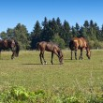 Grazing horses — Stock Photo #56922389