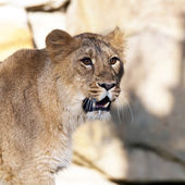 Young lion (female) — Stock Photo