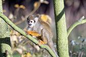 Common squirrel monkey — Stock Photo