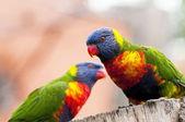 Rainbow lorikeet — Stock Photo