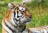 Tiger — Stockfoto