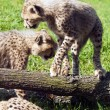 Cheetah cubs — Stock Photo #70592295