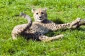 Mládě geparda — Stock fotografie