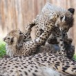 Cheetah cubs — Stock Photo #70921317