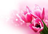 Pink colored tulip flowers — ストック写真