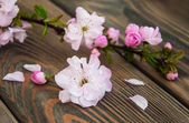 Цвет сакуры — Стоковое фото