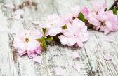 Sakura bloesem — Stockfoto