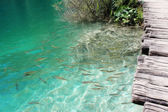 Many fish crystal clear water in Plitvice lakes — Stock Photo
