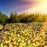 nyskördade päron — Stockfoto
