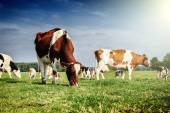 Herd of cows at summer green field — Stock Photo