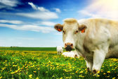 Herd of white cows at green field — Stock Photo