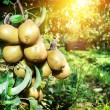 Fresh organic pears on tree branch — Stock Photo #53804359