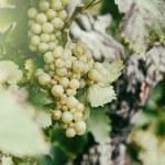Fresh organic grape on vine branch — Stock Photo #53804469