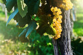 Fresh organic grape on vine branch — Stockfoto