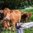 Young brown cows — Stock Photo #55564941