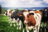 Herd of young calves looking at camera — Stock Photo