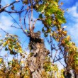 Landscape with autumn vineyard after harvest — Stock Photo #57296375