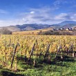 Landscape with autumn vineyards — Stock Photo #57296387
