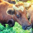 Brown cows at summer green field — Stock Photo #57296431