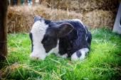 Cute little calf laying in grass — Foto de Stock