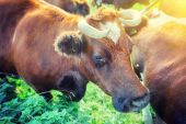 Brown cows at summer green field — Foto Stock