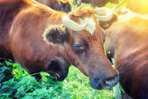 Brown cows at summer green field — Stock Photo
