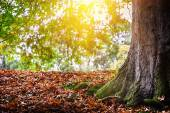 Autumn landscape with big oak tree — Stock Photo
