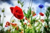 Poppies at summertime — Foto Stock