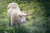 White sheep looking at the camera — Stock Photo