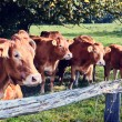 Brown cows at summer field — Stock Photo #58245321
